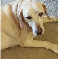 Adopt A Pet :: Bogie - Burbank, CA