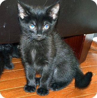 Russian Blue Kitten for adoption in Xenia, Ohio - Bonnie