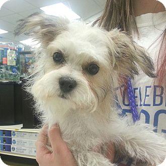 Maltese Mix Puppy for adoption in Orlando, Florida - JoJo