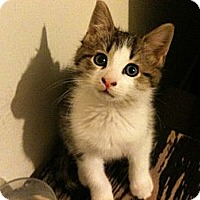 Adopt A Pet :: Thorn - Sterling Hgts, MI