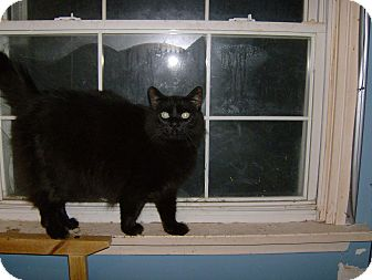 Domestic Mediumhair Cat for adoption in North Middlesex, Ontario - Bear Bear