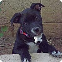 Adopt A Pet :: Petunia - Phoenix, AZ