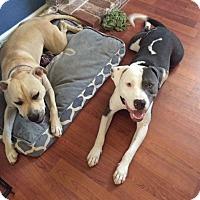 Adopt A Pet :: Axil - Sacramento, CA