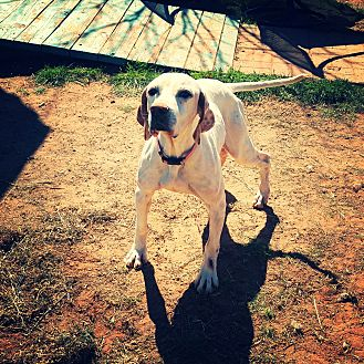 Pointer Mix Dog for adoption in Odessa, Texas - Penny
