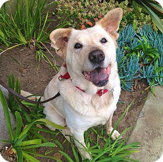 Labrador Retriever/Shar Pei Mix Dog for adoption in Burbank, California - URGENT-Lady-VIDEO