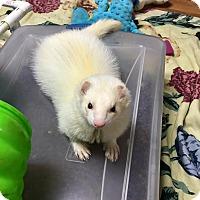 Adopt A Pet :: Yang - Fawn Grove, PA