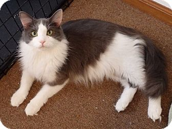 Domestic Longhair Cat for adoption in Speedway, Indiana - Murray