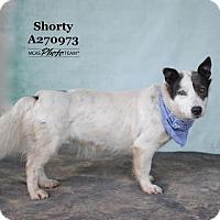 Adopt A Pet :: SHORTY - Conroe, TX