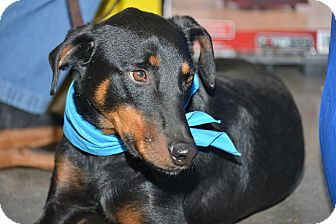 Doberman Pinscher Mix Dog for adoption in Richmond, Kentucky - Cole