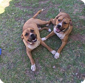American Staffordshire Terrier Mix Dog for adoption in Sedona, Arizona - Buddy and Baxter
