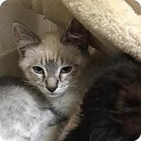 Adopt A Pet :: Lynx - Pleasant Hill, CA