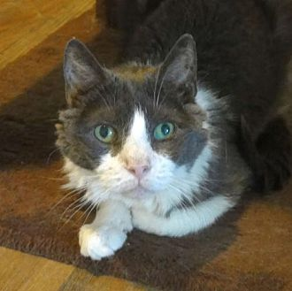 Domestic Shorthair Cat for adoption in Penndel, Pennsylvania - Carl
