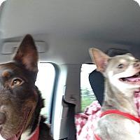 Adopt A Pet :: Joker - Loudonville, NY