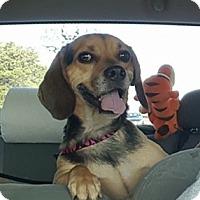 Adopt A Pet :: AJ - Raritan, NJ