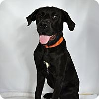 Adopt A Pet :: Flip Lab Mix - St. Louis, MO
