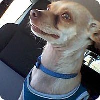 Chihuahua Dog for adoption in Culver City, California - Eugene