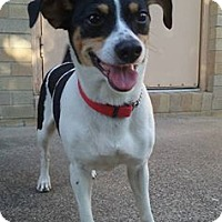 Jack Russell Terrier Mix Dog for adoption in Elyria, Ohio - Molly