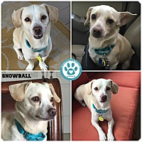 Chihuahua Mix Dog for adoption in Kimberton, Pennsylvania - Snowball