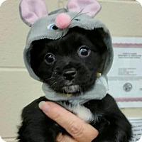 Adopt A Pet :: RayLynn - Plainfield, IL