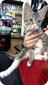 Domestic Shorthair Kitten for adoption in Morristown, New Jersey - Camille