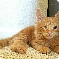 Adopt A Pet :: **Beauregard 'Bo' Duke -- Cats of Hazzard - Pittsburg, CA