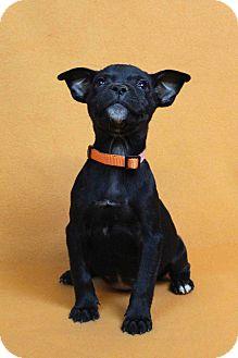 Blue Heeler Mix Puppy for adoption in Westminster, Colorado - IDA