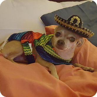 Chihuahua Dog for adoption in Island Heights, New Jersey - Carmella