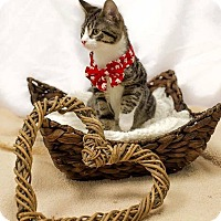 Domestic Shorthair Cat for adoption in Jerseyville, Illinois - Diego