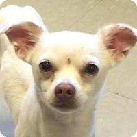 Adopt A Pet :: Weasel - Brattleboro, VT