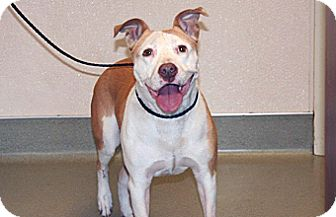 Pit Bull Terrier Mix Dog for adoption in Wildomar, California - Sadie