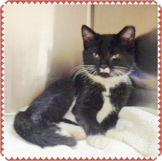 Domestic Shorthair Kitten for adoption in Marietta, Georgia - STASH-available 12/07