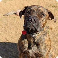 Adopt A Pet :: Bravo (formerly Stark) - Virginia Beach, VA