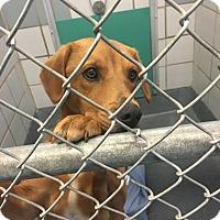 Adopt A Pet :: Luke - Austin, TX