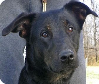 Labrador Retriever/Australian Cattle Dog Mix Dog for adoption in Metamora, Indiana - Darla