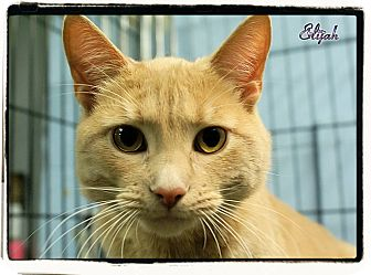 Domestic Shorthair Cat for adoption in Elmwood Park, New Jersey - Elijah