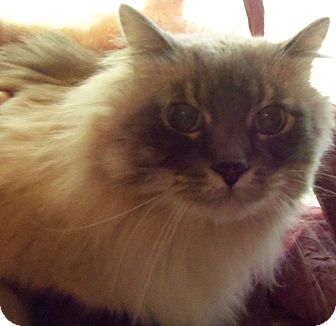 Ragdoll Cat for adoption in Ennis, Texas - Tanaki