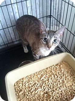 Siamese Kitten for adoption in Huntington Station, New York - SAMARA
