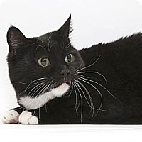 Domestic Shorthair Cat for adoption in Yorba Linda, California - Mama
