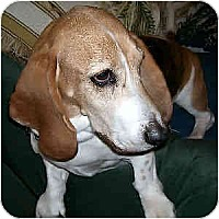 Adopt A Pet :: Dazzle - Phoenix, AZ