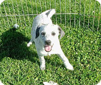 Corgi/Australian Cattle Dog Mix Puppy for adoption in Liberty Center, Ohio - Gisele