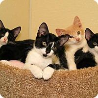 Adopt A Pet :: KITTENS! KITTENS! KITTENS! - Milford, MA