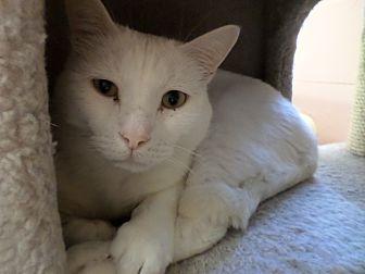 Domestic Shorthair Cat for adoption in Lake Charles, Louisiana - Angel