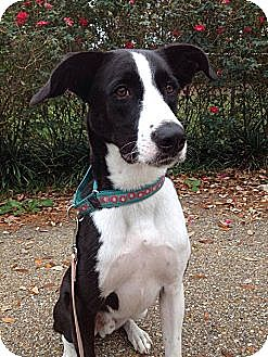 Border Collie/Great Dane Mix Dog for adoption in New Orleans, Louisiana - Trace