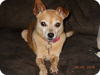 Chihuahua Mix Dog for adoption in haslet, Texas - Lulu