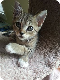 Domestic Shorthair Kitten for adoption in Homewood, Alabama - Zena