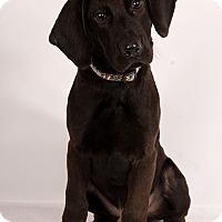 Adopt A Pet :: Chadwick Lab Mix - St. Louis, MO