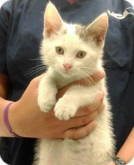 Domestic Shorthair Kitten for adoption in University Park, Illinois - Theodore