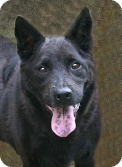 Australian Cattle Dog Mix Dog for adoption in Lufkin, Texas - Bear