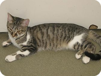 Domestic Shorthair Kitten for adoption in Westminster, California - Maddie