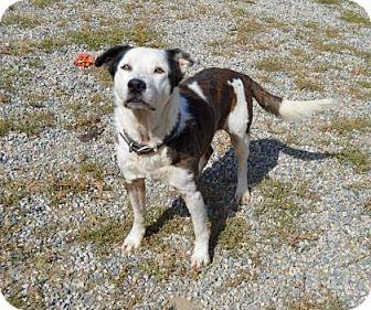 Border Collie Mix Dog for adoption in Buena Vista, Colorado - Dillon